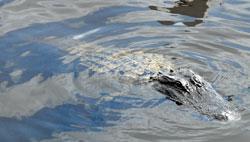 Alligator Alley Everglades Florida