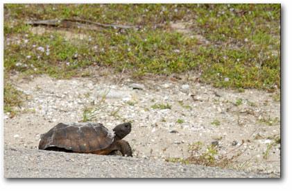 Gopher Turtle, Gopher Tortoise