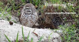 Burrowing Owls may be seen nesting on Marco Island. Click to enlarge view.