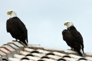 American Bald Eagles in Florida Everglades
