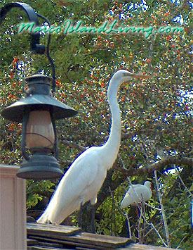Marco Island, Florida Birds, Egret, Florida Birds, FL Birdings, Marco Birds, Marco eagle, Marco Birding Photos