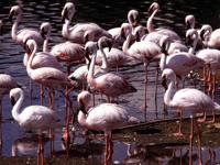 Flamingos FL Birding