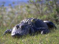 pic/wildlife gator