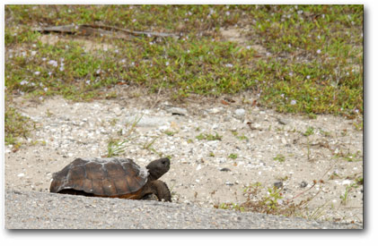 Gopher Turtle, Gopher Tortoise