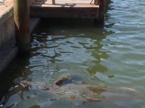 Manatee Calf with Baby