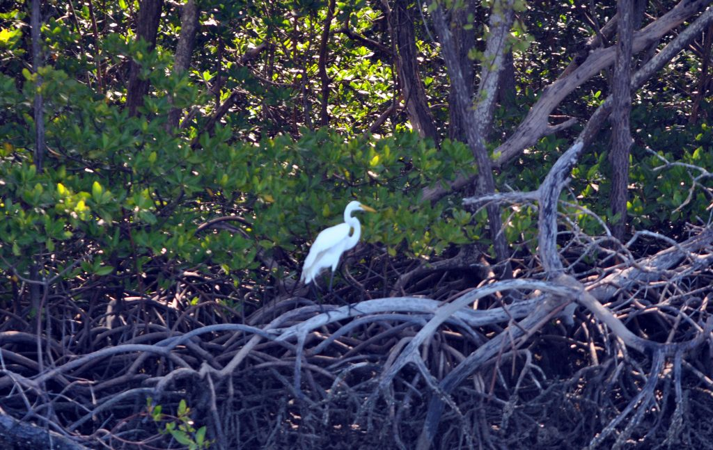 egret-in-mangrooves