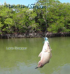 lane-snapper
