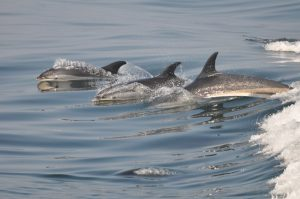Three Dolphin Swimming
